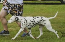 Greater Pittsburgh Dalmatian Club Specialty 2017